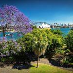 Jacarandas in bloom in Sydney. View from the Royal Botanic Gardens, Sydney.
