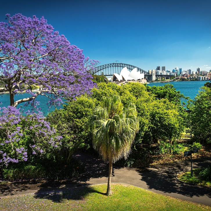 Jacarandas in bloom in Sydney. View from the Royal Botanic Gardens, Sydney.